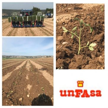 UNFASA Tomato Crop coming soon